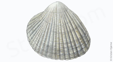 Hjertemusling - Cerastoderma edule - Common Cockle