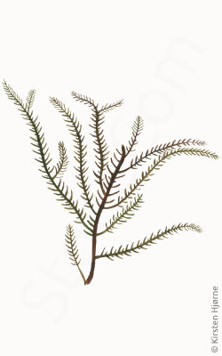 Tandet fjertang - Ptilota serrata - Northern Sea Fern