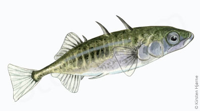 Trepigget hundestejle - Gasterosteus aculeatus - Three-spined stickleback